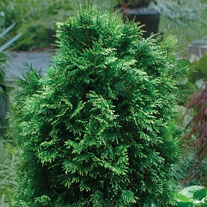 Thuja - tree of life