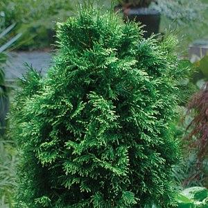 Thuja - tree of life