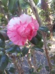 Like striped candy this camelia