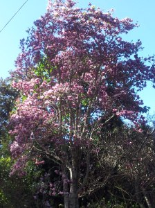 Local magnolia tree in full bloom, how old must it be?