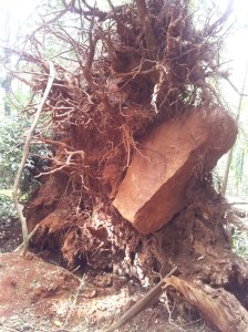 Uprooted tree, including large rock!