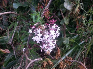 Jasmine flowering in my Life Journey